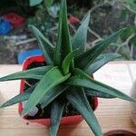Aloe spp.