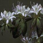 Rhododendron stenopetalum