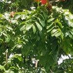 Spathodea campanulata Feuille