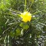 Thevetia peruviana Fleur