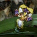 Neomarica variegata