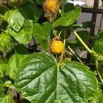 Passiflora foetida Fruit