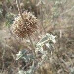 Marrubium incanum