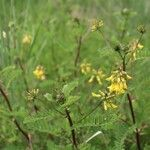 Astragalus penduliflorus