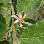 Grewia tembensis