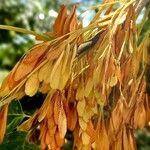 Fraxinus ornus Flower