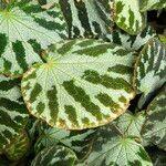 Begonia imperialis