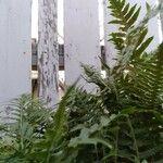 Polypodium glycyrrhiza