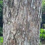 Ulmus mexicana Bark