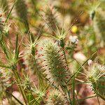Trifolium angustifolium Port