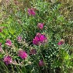 Astragalus mollissimus