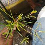 Cyperus sphacelatus