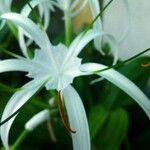 Hymenocallis tubiflora