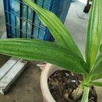 Crinum asiaticum Other