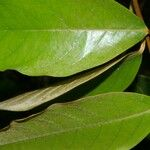 Heteropterys macrostachya
