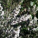 Erica arborea Blomst