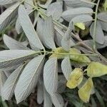 Lonchocarpus retifer