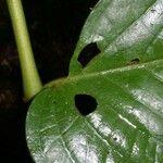 Piper pseudobumbratum