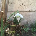 Galanthus nivalis Flower