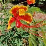 Caesalpinia pulcherrima Flower