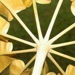 Pavonia schiedeana