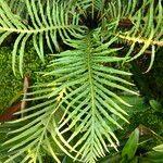 Blechnaceae