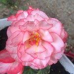 Begonia spp.