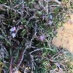 Echiochilon fruticosum