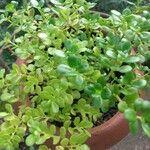 Pilea microphylla Leaf