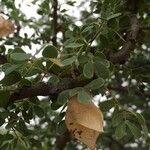 Senegalia mellifera