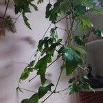 Cissus alata 葉