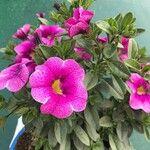 Anchusa officinalis x Anchusa undulata subsp. hybrida