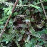 Marchantia chenopoda
