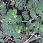 Chamaesyce viridula