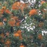 Cuscuta jalapensis