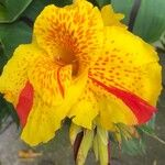 Canna indica Blomst