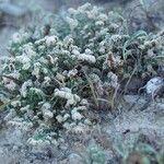 Herniaria fruticosa