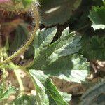 Althaea longiflora