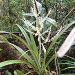 Asteliaceae