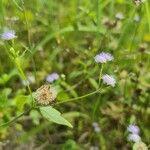 Praxelis clematidea Flower