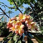 Plumeria rubra Fiore