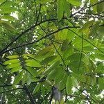 Dipterocarpus oblongifolius
