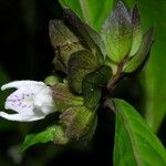 Herpetacanthus panamensis