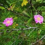Rosa davurica