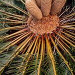 Encephalartos friderici-guilielmi