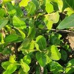 Mystroxylon aethiopicum Hoja