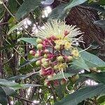 Syzygium jambos Blomma