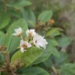 Dombeya ferruginea subsp. borbonica x punctata