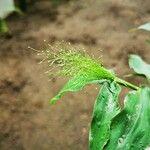 Panicum trichoides