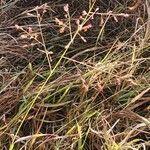 Panicum coloratum